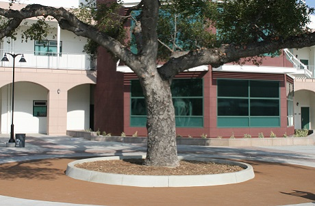 Rubber Tree Well at High School