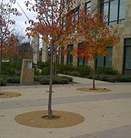 Rubber Tree Wells
